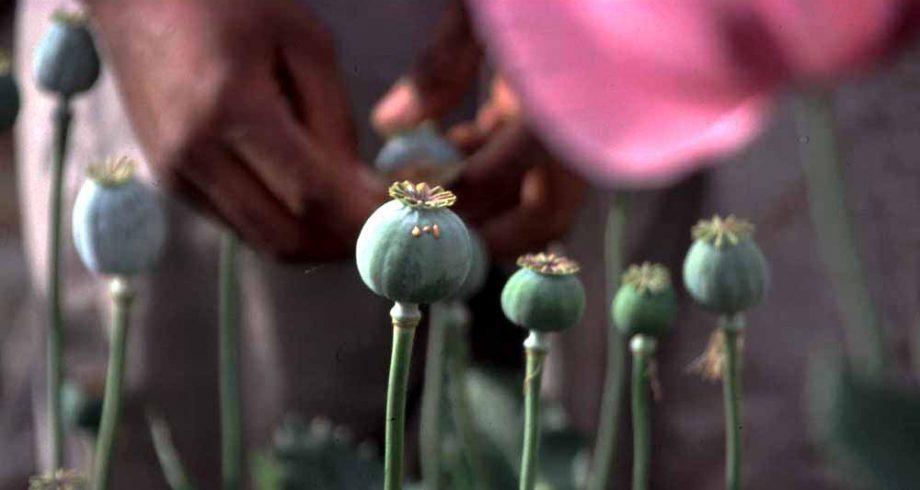egypt_sinai_opium_collecting_19