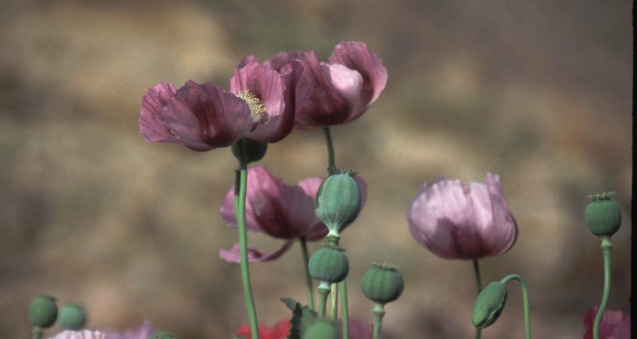 opium-popys